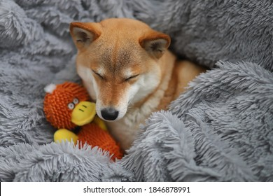 かわいい赤い犬柴犬は彼女のお気に入りのおもちゃで灰色のふわふわの毛布で寝ています
