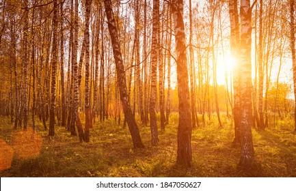 Sonnenuntergang in einem herbstlichen Birkenhain mit goldenen Blättern und Sonnenstrahlen, die an einem sonnigen Abend während des Herbstes durch die Bäume schneiden.