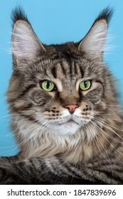 Retrato de gato Maine coon tendido sobre fondo azul. Mascota doméstica grande y esponjosa con ojos verdes y mirada expresiva que observa atentamente algo. Borlas en las orejas, color atigrado. Copie el espacio.