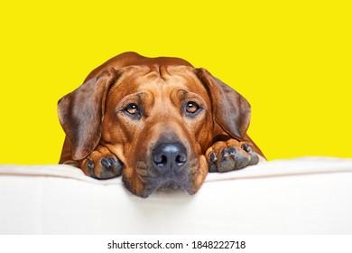 白いベッドに横たわってカメラを見ているローデシアンリッジバック犬を閉じます。黄色の背景に分離。