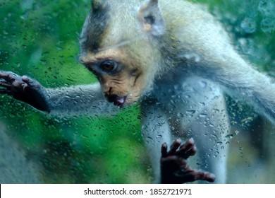 Affe gehen weiter und lecken Wassertropfen auf Autoglas
