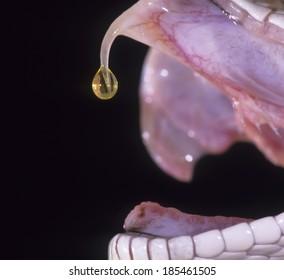 プレーリーガラガラヘビ、Sistrurus catenatus、制御された状況、搾乳されたところから垂れ下がる毒、ペンシルベニア州、アメリカ合衆国