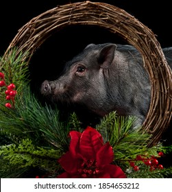 Pot Bellied Pig looks through holiday Christmas wreath isolated on black backdrop looking at camera.