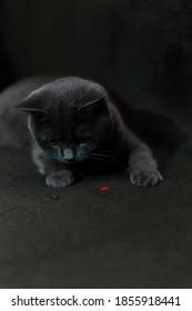 Schottische gerade Katze spielt mit einem Laser auf einem dunklen Hintergrund