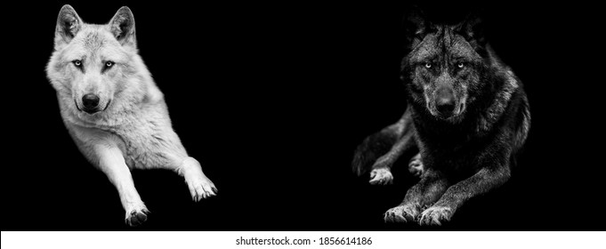 Template of Portrait of white wolf  and black wolf with a black background