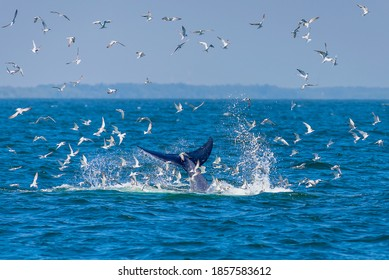 Tail of Bryde's whale (Eden's whale) at the surface of sea with flying birds. Taken at Bang Tabun, Phetchaburi in Gulf of Thailand.