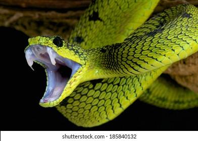 Schlangenangriff / Große See Buschotter / Atheris nitschei