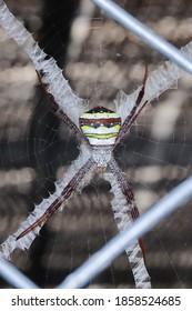 Spinne, Spinnennetz, mehrfarbige Argiope-Spinne) Wissenschaftlicher Name Agiope versicolor, grau gestreifter Kopf und Brust. Der Bauch hat abwechselnd weiße, gelbe und dunkelbraune Streifen, dunkelbraune Beine.