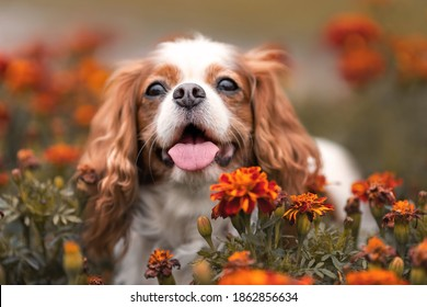 Cute cavalier king charles dog with tongue out among orange flowers. Close up pet portrait