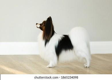mooie papillon hond staat op een grijze muur achtergrond in de studio. De speelgoed continentale spaniel stapelt zich op