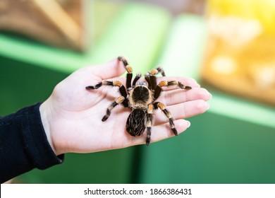 Eine große schwarze Spinne auf der Handfläche eines Mannes. Ein Mann, der eine Spinnen-Vogelspinne hält.