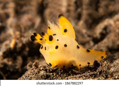 A strange looking orange and yellow pikachu nudibranch crawls across a reef in search of food.