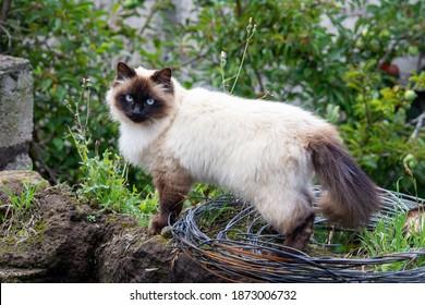 beautiful himalayan cat in the field
