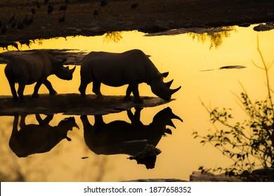 水穴にいる2頭のサイのシルエット-水に映る-黄金の夜の光