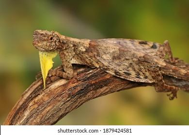 Ein fliegender Drache (Draco volans) nimmt ein Sonnenbad auf einem Weinstock, bevor er seine täglichen Aktivitäten aufnimmt.