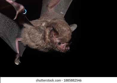 A ringed Seba's short-tailed bat (Carollia perspicillata), a common and widespread frugivore bat species in the family Phyllostomidae.