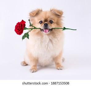 かわいい子犬ポメラニアン混合品種ペキニーズ犬は、バレンタインデーの白い背景で隔離の口の中でバラと座っています。