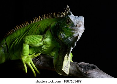 Big green iguana on isolated black background