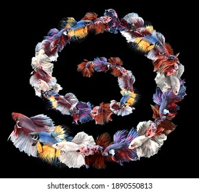 Spiral Formation Collage Betta, Cupang, Siamese Fighting, Fish Red Galaxy, Half Moon, White, Dumbo, Big Ear, Slayer, Crown Tail, Serit
