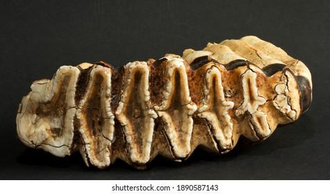 食物を挽くのに使われる象の歯の中で最大のものであるM6臼歯は、数キログラムの重さがあり、約60歳で象が栄養失調で死ぬまで徐々に摩耗します。