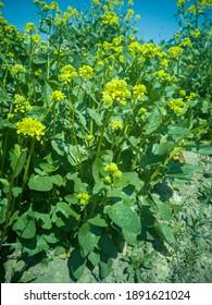 Blühender weißer Senf Sinapis alba Detail Nahaufnahmefeld, Bauernhof Bio-Bio-Landbau, Boden Klimawandel, Landschaft Landwirtschaft Land Umwelt blühende Blüten Pflanze landwirtschaftlich, Biokraftstoff