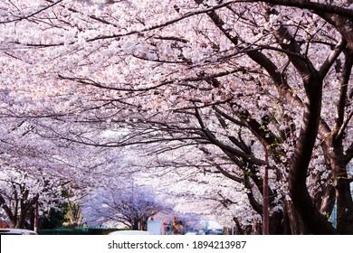 Đường hầm tráng lệ của hoa anh đào trên một con phố giao thông thành phố. Hoa anh đào nở rộ vào một ngày nắng.