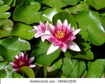 湖の緑の葉の間でスイレンの花のクローズアップ。