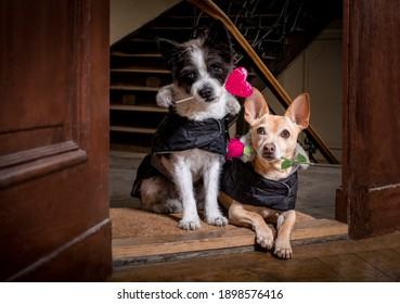 家のドアで、バラの花とロリーポップまたはロリポップを口に入れて幸せなバレンタインデーのための2匹の犬のカップル