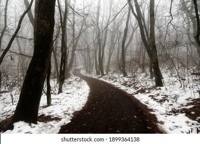 スコッチミスト、濃い霧が森の小道にかかっていて、海辺の森の湿った雪に覆われた木々。亜熱帯の予期せぬ降雪