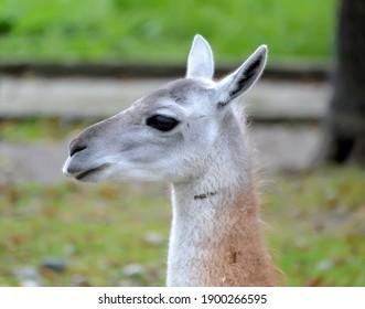 Portrait of llama (Lama glama Linnaeus) in profile