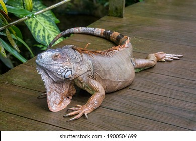 The Red Iguana(Iguana iguana) closeup image.  it actually is green iguana, also known as the American iguana, is a large, arboreal, mostly herbivorous species of lizard of the genus Iguana.