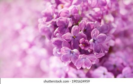 Lila lila Blumen als Hintergrund. Frühlingshintergrund
