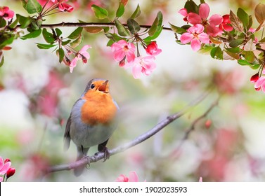 small songbird, a robin, sits in a sunny garden in May among the flowers of an apple tree