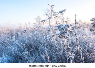 amanecer en un campo cubierto de nieve en medio de la hierba. Nieve y heladas en las plantas. Hierba de hielo. Cuento de hielo. Hermoso fondo de invierno con ramas cubiertas de escarcha. Las plantas están cubiertas de escarcha.