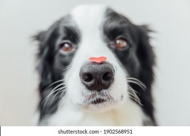 聖バレンタインデーのコンセプト。白い背景の上の鼻に赤いハートを保持している面白い肖像画かわいい子犬犬ボーダーコリー。バレンタインデーに恋をしている素敵な犬が贈り物をします