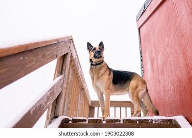 雪に覆われた階段の上に立って、雪が降っている間に山を登る他のハイキングを見ている美しい純血種のジャーマンシェパード犬の肖像画