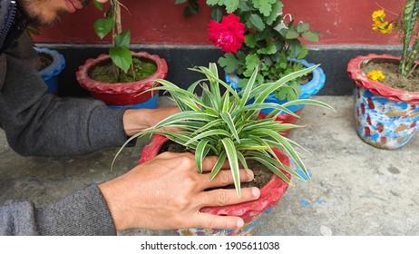 Man doing plantation of spider plant or Chlorophytum comosum variegatu on a earthen flower pot