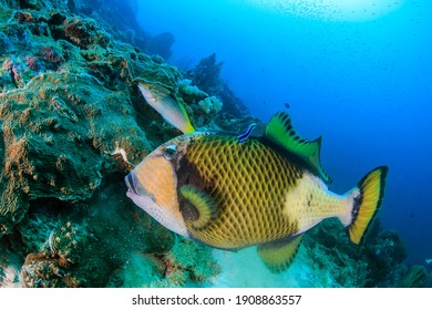 Titan Triggerfish being cleaned by a Cleaner Wrasse on a tropical reef.