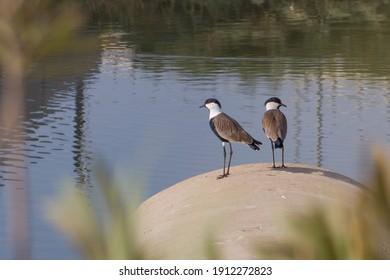 川の翼のあるラッピングチビスのペア。イスラエルの地中海の鳥。