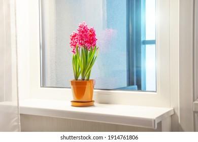 アパートの窓枠の1つのポットに3つのピンク色に咲くヒヤシンス。国際女性デーギフト