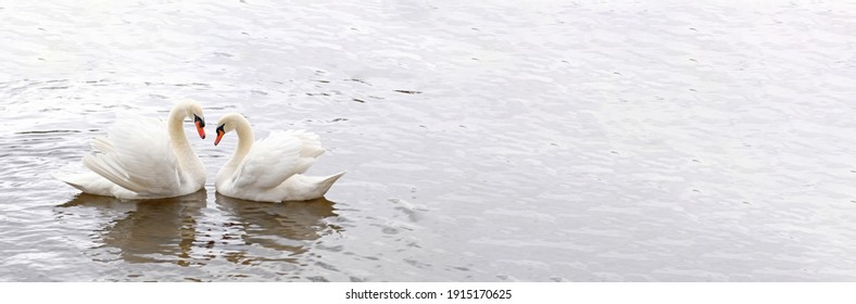 Couple of white swans swim in the water. Symbol of love and fidelity is two swans make a heart shape. Magical landscape with wild bird (Cygnus olor). Toned image, banner in natural colors, copy space.