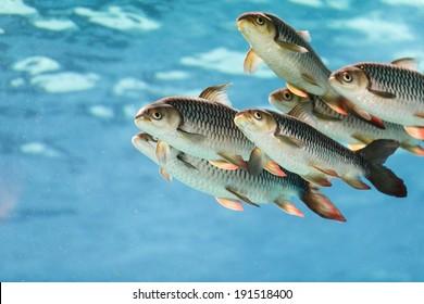 Gruppe von Tigerfischen