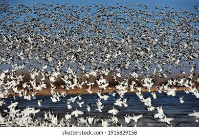 ニューメキシコ州ソコロ近くのボスクデルアパッチ国立野生生物保護区で冬に水上を飛ぶ何百もの雪ガチョウの巨大な群れ
