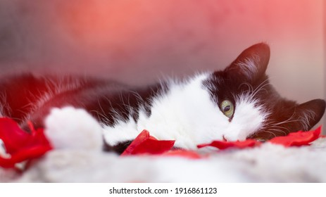 A black and white domestic cat lying on a bed with red rose petals. Close-up, red rose petals, Valentine's Day headband. Banner with red bokeh hearts.