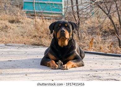 ロットワイラー。ロットワイラーは領土を守っています。ロットワイラー種の成犬。閉じる。ロットワイラーカラー。アスファルトの番犬。