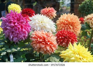 コルカタのフラワーショー展での鮮やかなダリアの花の花束
