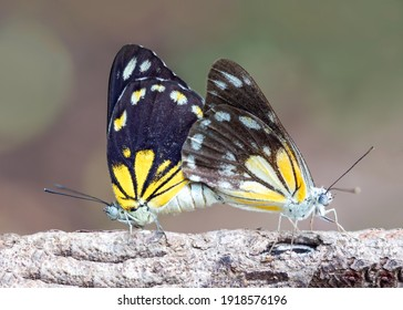 Beautiful couple butterfly in the forest