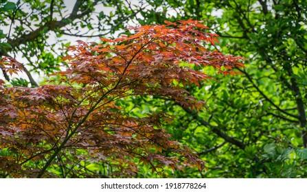 Junge rote Blätter des japanischen Ahorns Acer Palmatum Atropurpureum im Frühlingsgarten auf unscharfem Blatthintergrund. Selektiver Fokus.