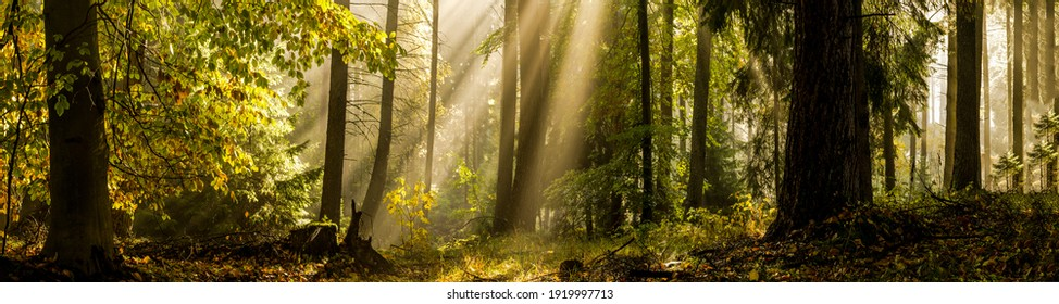 Waldsonnenstrahlen Morgen Panoramalandschaft. Panorama der Waldsonnenstrahlen. Waldsonnenstrahl-Panorama. Sonnenstrahlen im Waldpanorama