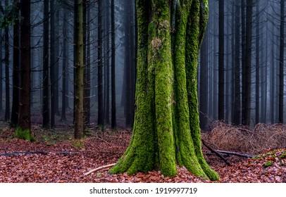 秋の森の苔むした木の幹。森の霧の木の苔。森の霧の中の木の幹の緑の苔。霧の森の木の幹の苔